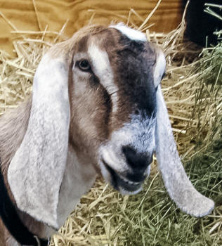 Anglo-Nubian Goat Face