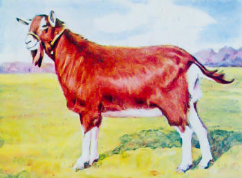 Anglo-Nubian Goat Breed Standing